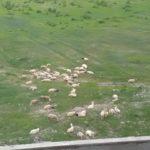 まわりで羊が放牧されている内モンゴルのマンションを購入 周りに何もない中国辺境地の不動産価格は