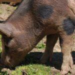 内モンゴル草原育ちの屠畜したての超新鮮な豚肉をいただいた 食肉を熟成させておいしいお肉を作ってみたくなった