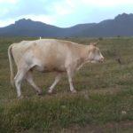 中国内モンゴルの山地草原旅行 遊牧民の移動式住居モンゴルゲルに泊まって放牧してみる