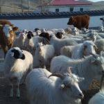 中国内モンゴル旅行で草原に放牧されている家畜とたわむれるアニマル好きの私