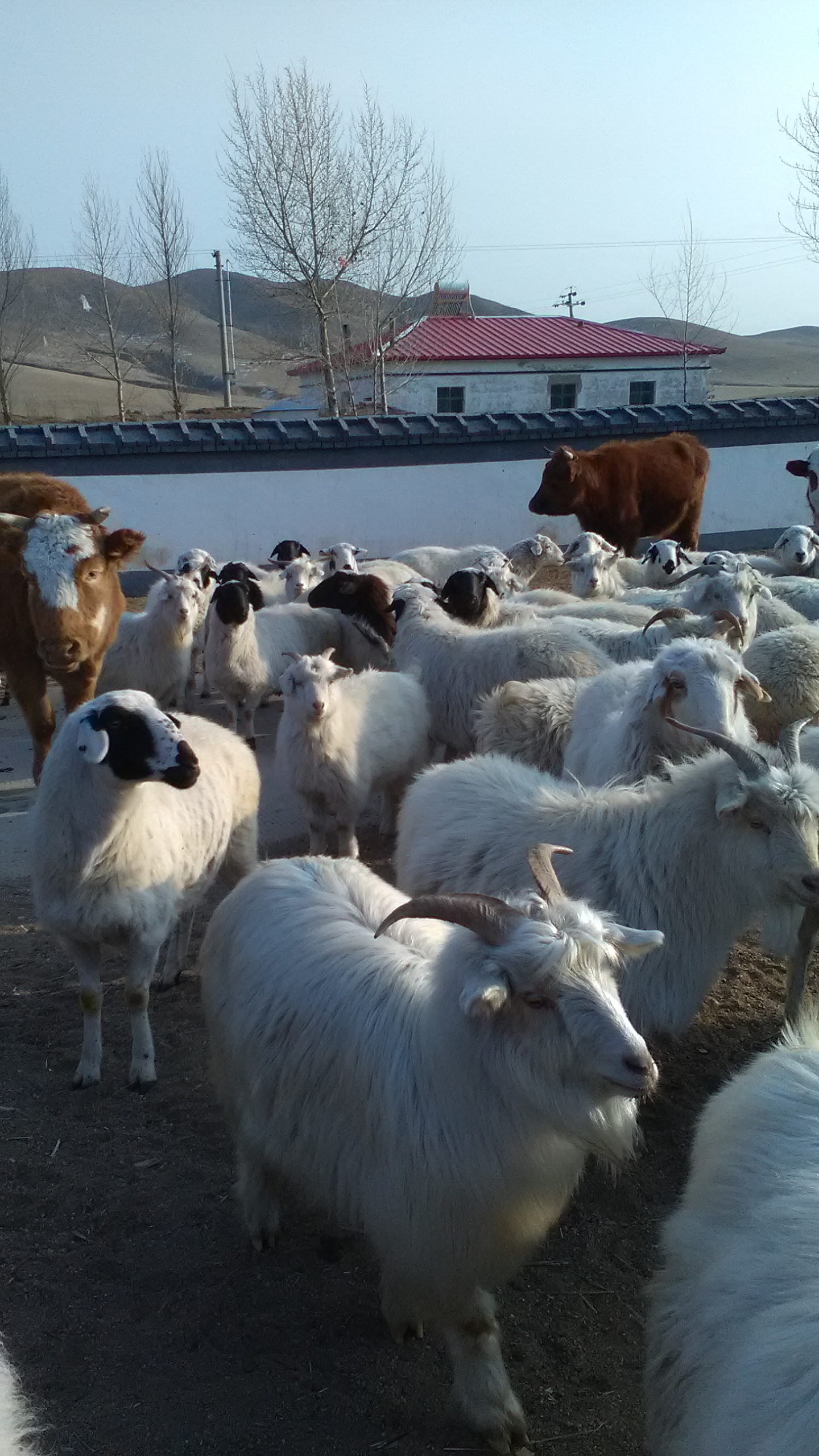 内モンゴル羊