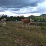ウシに注射する前に闘牛 内モンゴル農村に暮らす獣医の腕がピカイチだった